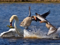 Swan Steals A Baby Gosling