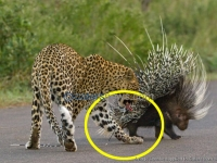 Leopards Prickly Encounter