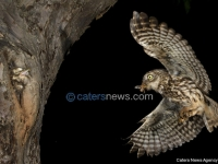 Owl Feeding Its Young