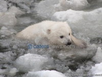 Baby Polar Bear's First Swim