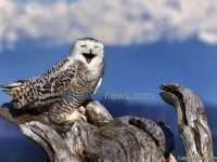 This Owls Having A Hoot