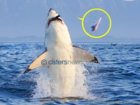 Shark Loses A Tooth