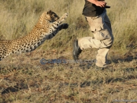 Leopard Cub Chases Man