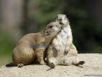 PRAIRIE DOGS KISS
