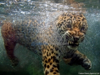 Jaguar Having A Swim