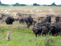 Lions Chased By Buffalo