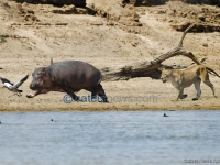 Lion Chases A Hippo