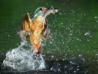 Kingfisher Dive