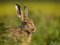 Hare Sticks Out Its Tongue