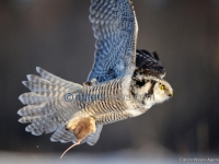 OWL CATCHES MOUSE
