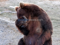 BASHFUL BROWN BEAR