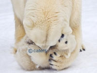 POLAR BEAR CUDDLES