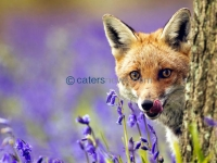 FOX IN BLUEBELLS