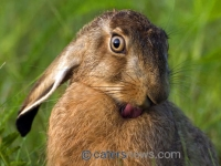 Hares Pulling Funny Faces
