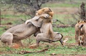 Incredible Lion Fight