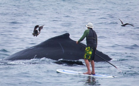 Close encounter: The dare devil could have been hit with a fine of more than £6,500 for paddling near the whales
