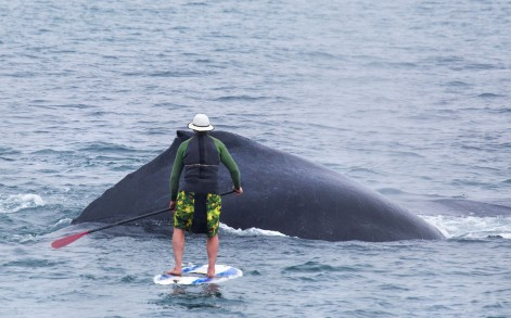 WHALE PADDLE BOARDER