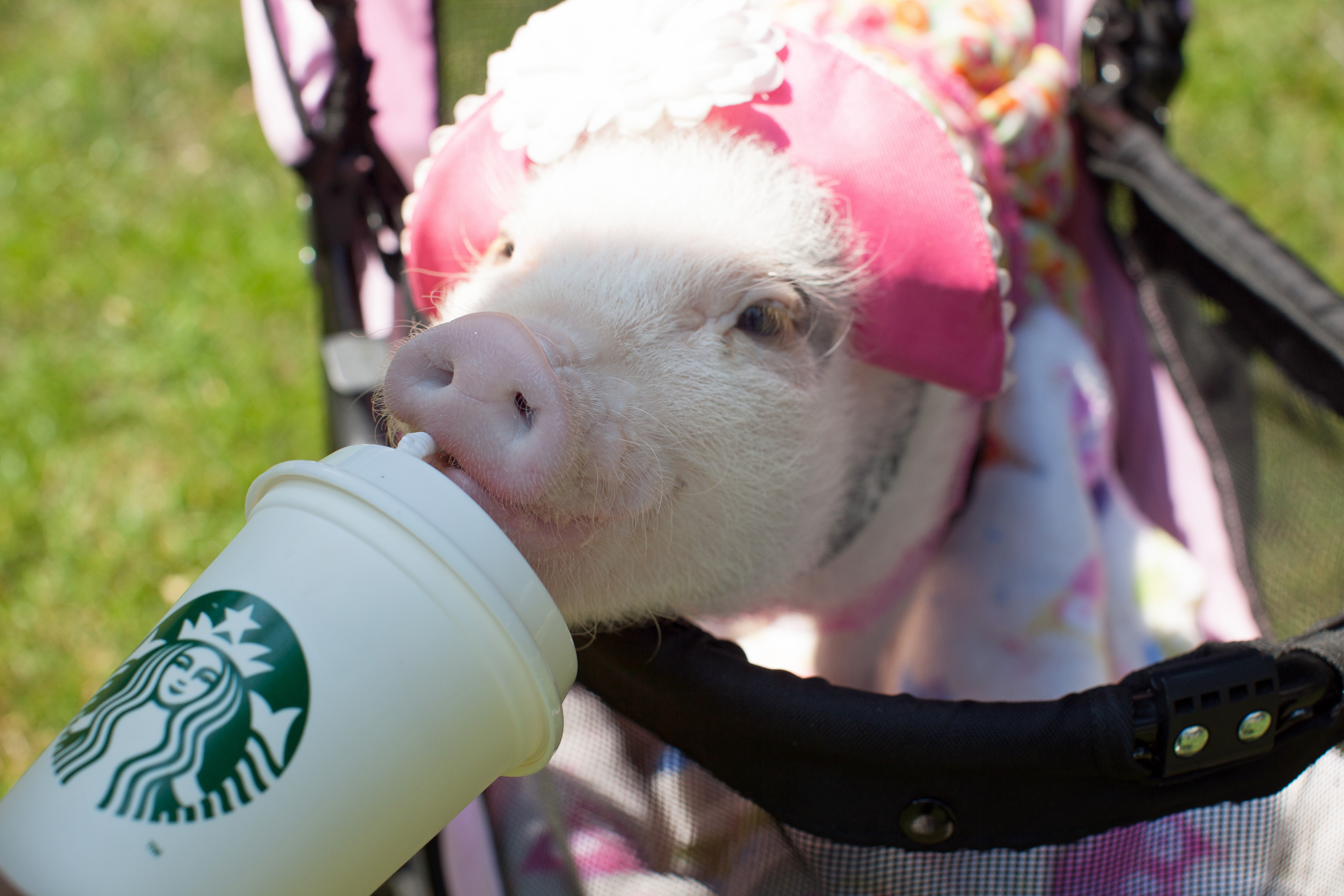 Meet The World S Most Pampered Pig Penelopi Caters News