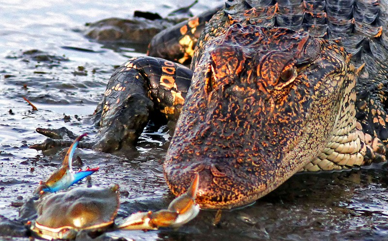Face off: The plucky shellfish came face-to-face with the giant crocodile