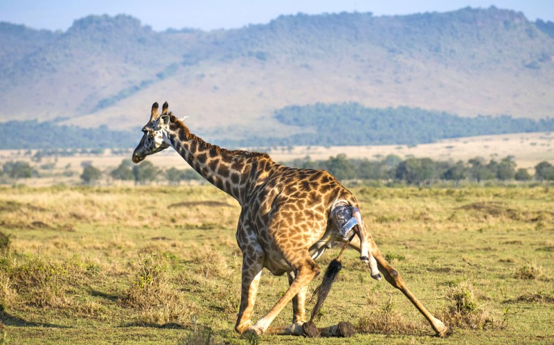 The giraffe kneels down to give birth to the calf