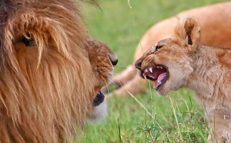 The baby lion attempts to copy his father in a face to face roar-off