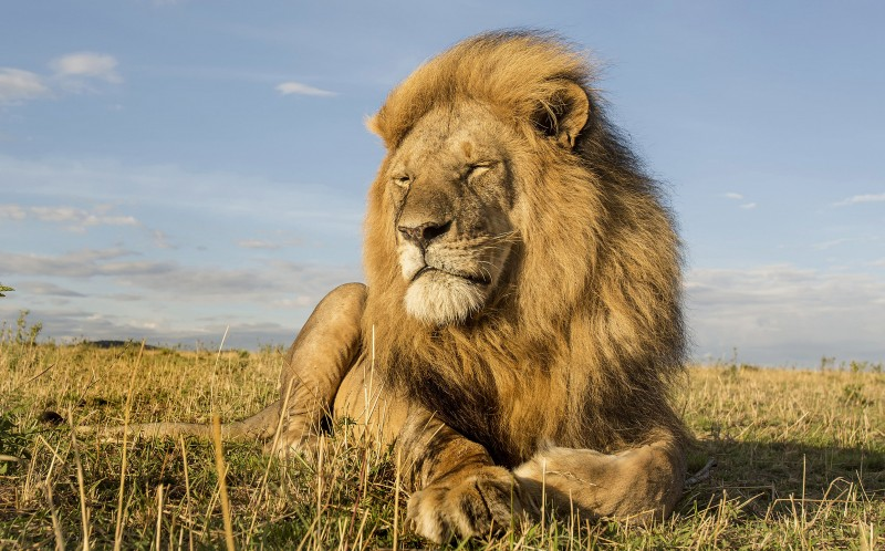 Wildlife photographer Steve Mandel captured the candid footage of lions
