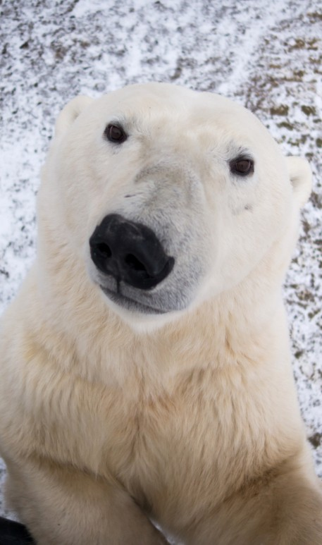 Incredible Close Ups Of Nosey Polar Bear Investigating
