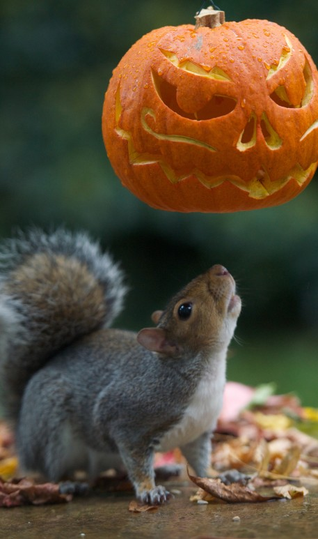 The cheeky squirrel appears to be trying on a scary pumpkin mask