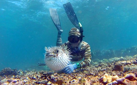 Pufferfish Photobombs Diver