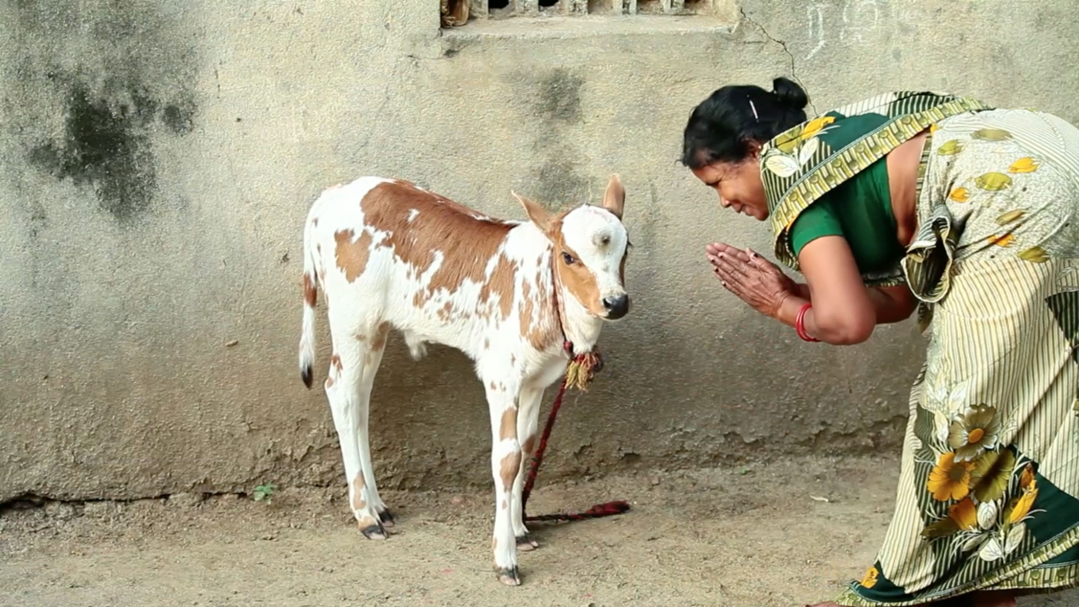 Cow Born With Three Eyes Is Worshiped As Deity Caters