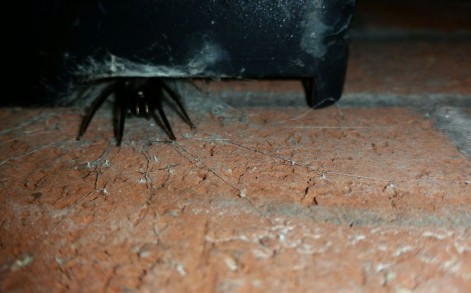 Tube spiders are one of the largest arachnids in the UK