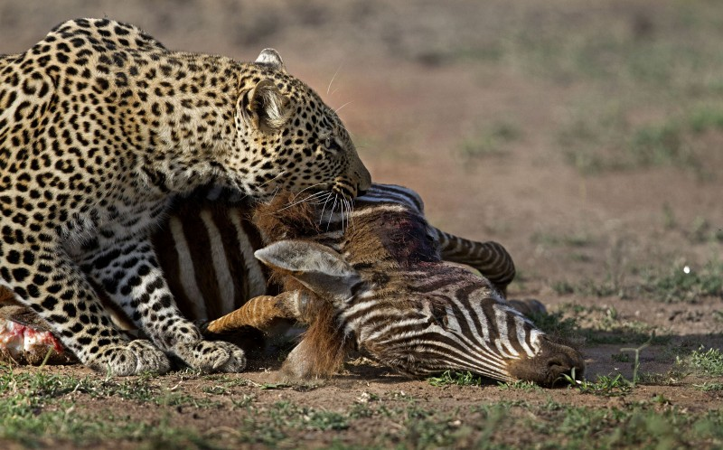 Having conquered the hyena in a tug of war, the leopard drags away his kill to eat in peace