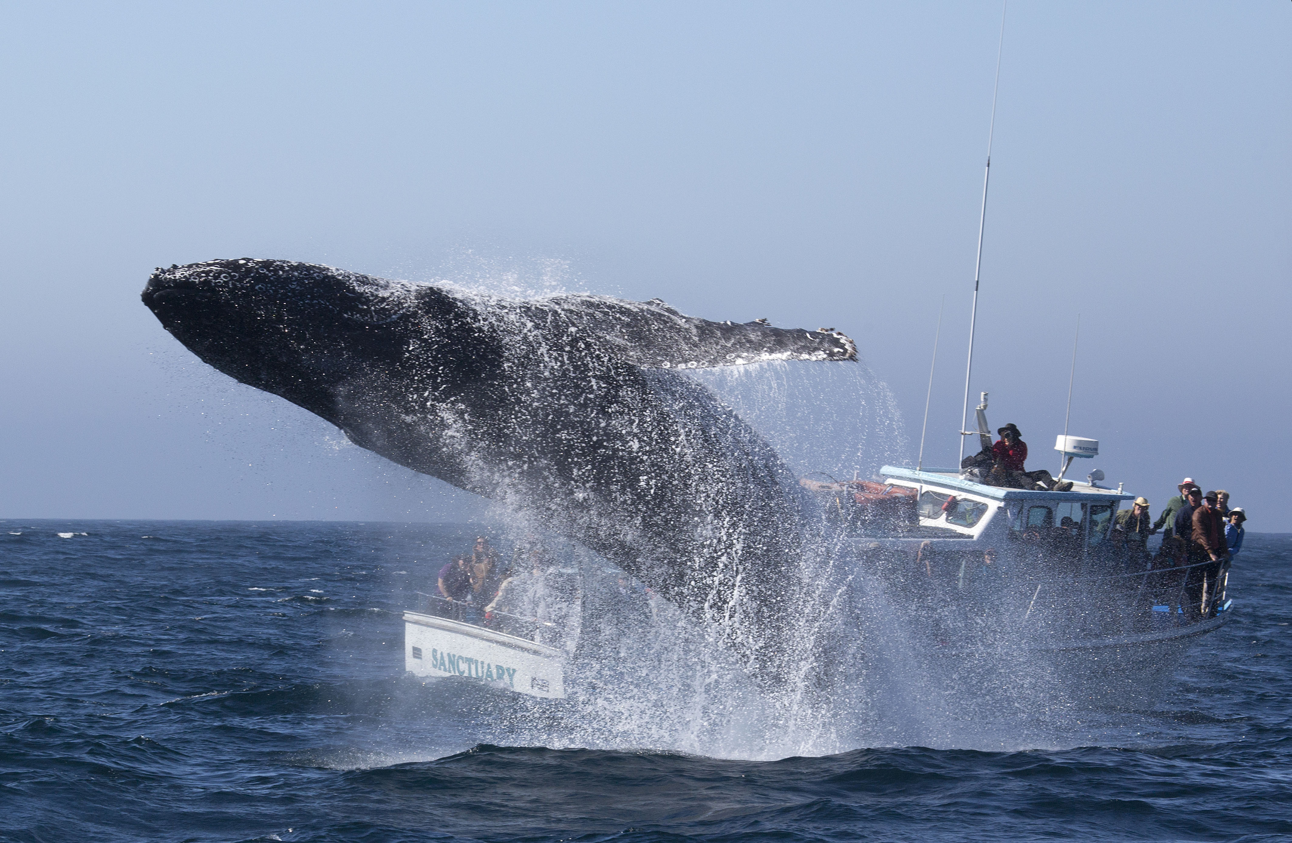 Humpback Whales Quot Free Willy Quot Moment Captured On Camera