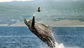 The humpback whale waves to the camera