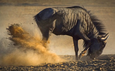 A care-free wildebeest was photographed having the time of its live in Botswana - playing in the dirt and dust.