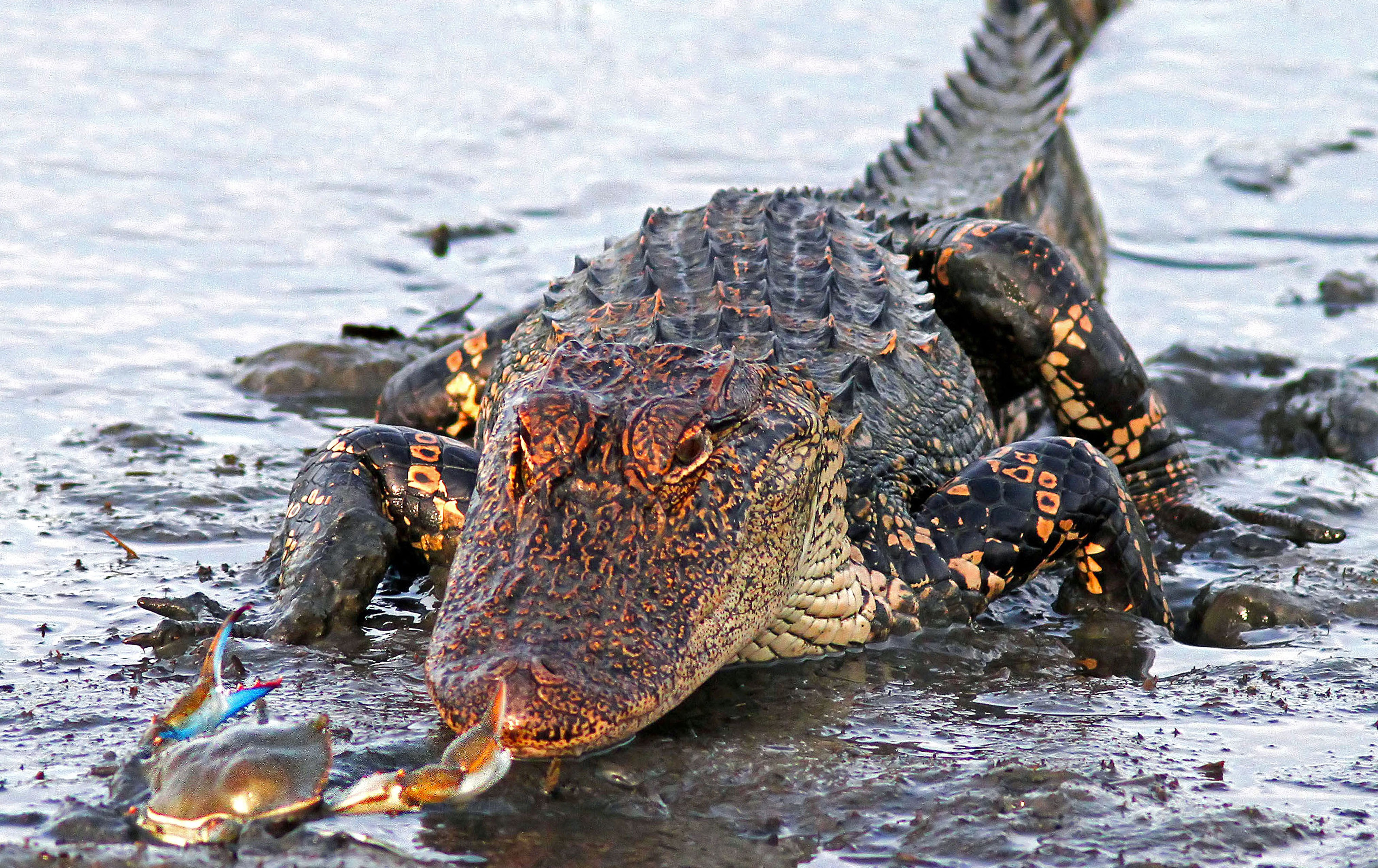 Crab And Alligator Face Off In The Ultimate David And