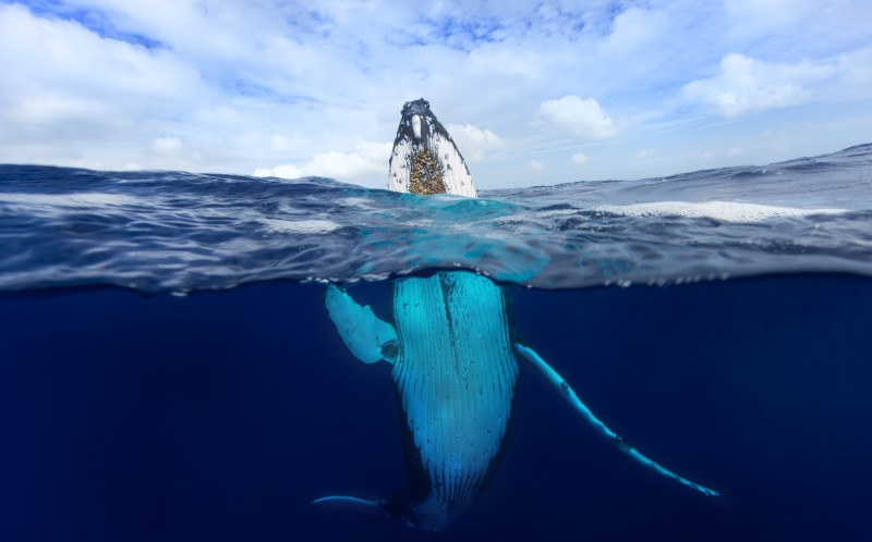The enormous beasts were spotted near Vava'u, Tonga