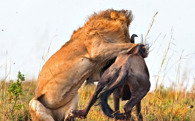 It took the hungry lion less than 60 seconds to maul the wildebeest