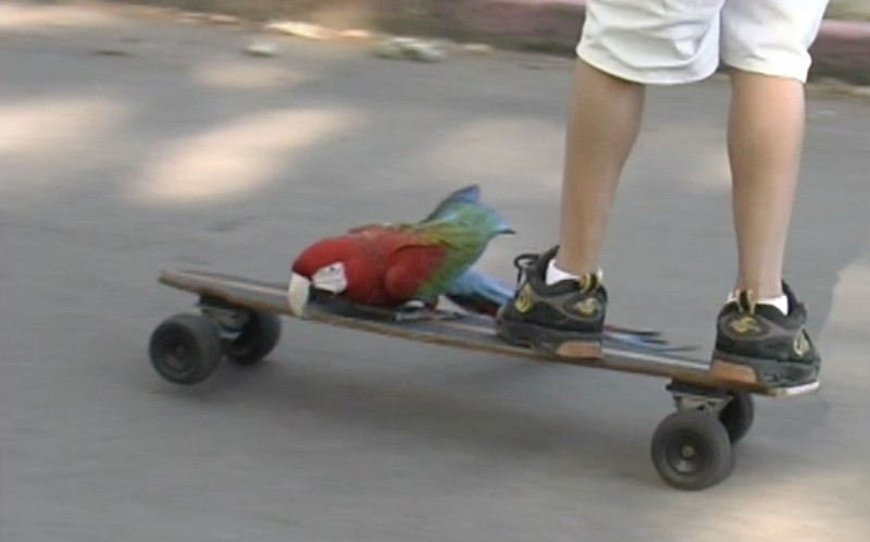 The feathered skateboarding sensation was filmed by cameraman Ian Maclean