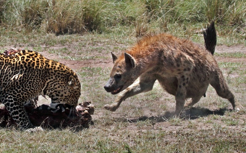 At first tentative, the craft Hyena tries to muscle in on the hungry leopards meal