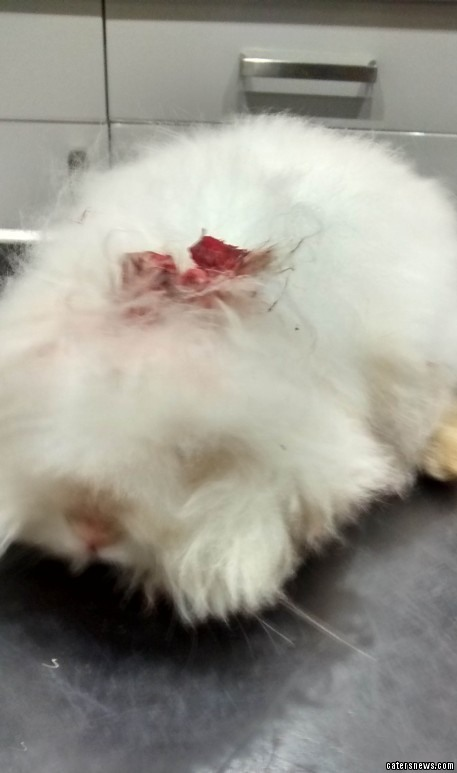 RSPCA officials believe the tiny mammals ears had been hacked off using a pair of scissors