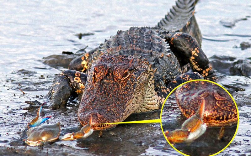 "Phil Lanoue, who captured the moment, said: ""The defeated alligator was severely annoyed and slowly slunk off back into the water."""