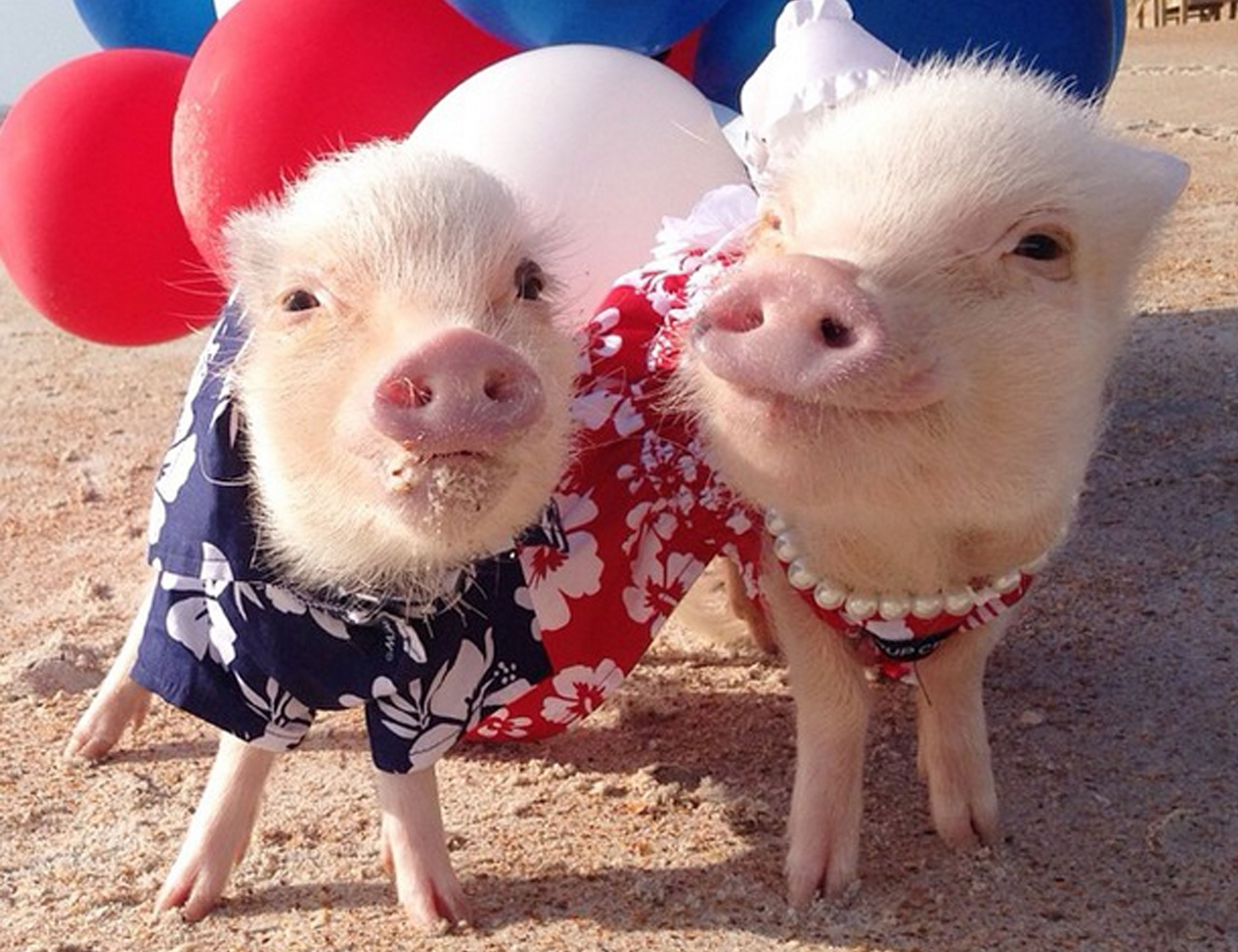 Lucky swines! Mini pigs become social media sensations ...