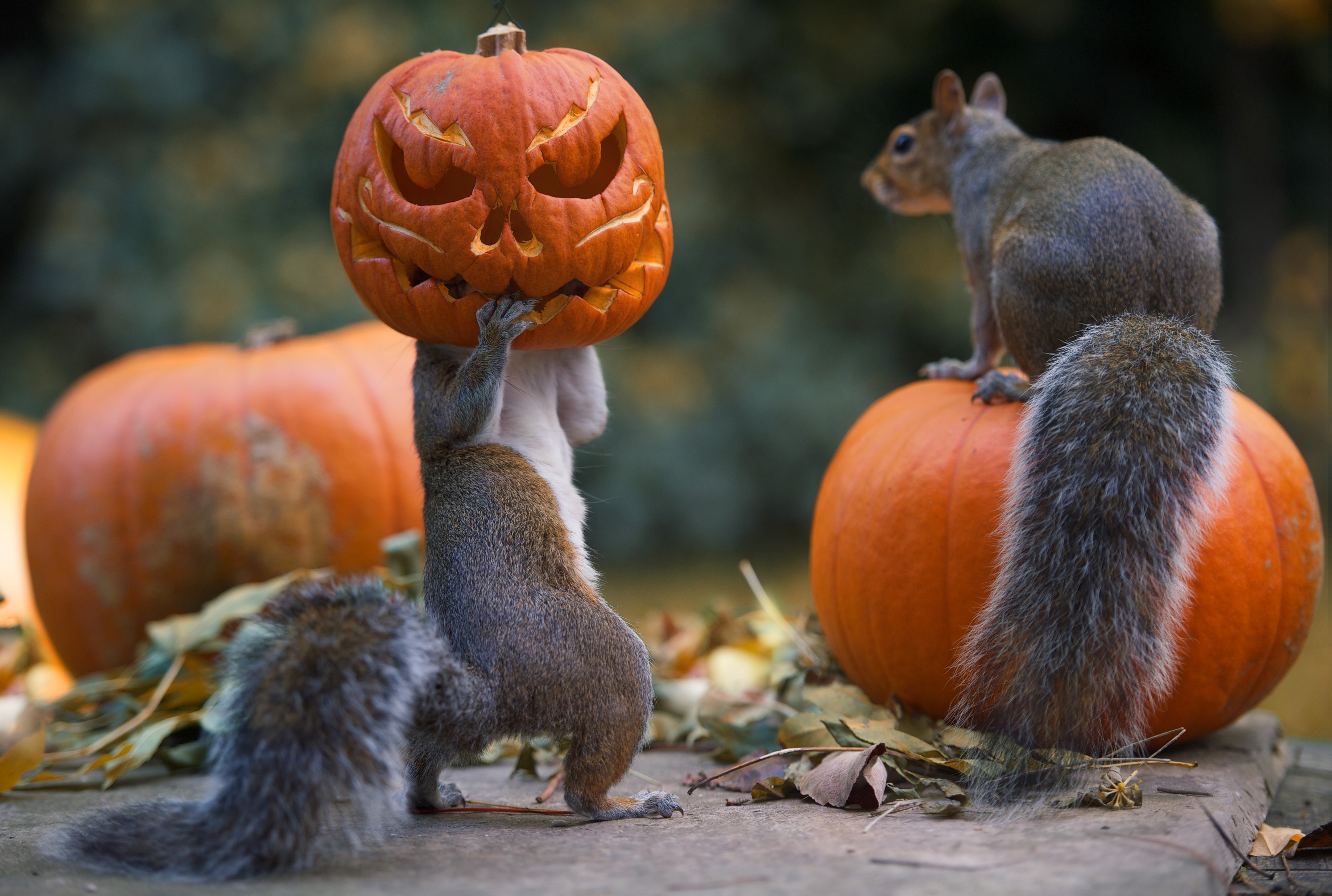 Now that's a horror tail: Squirrels go nuts for Halloween with ...