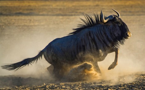 The large animal jumped about, kicking up a storm of dust and rolling around on the ground.