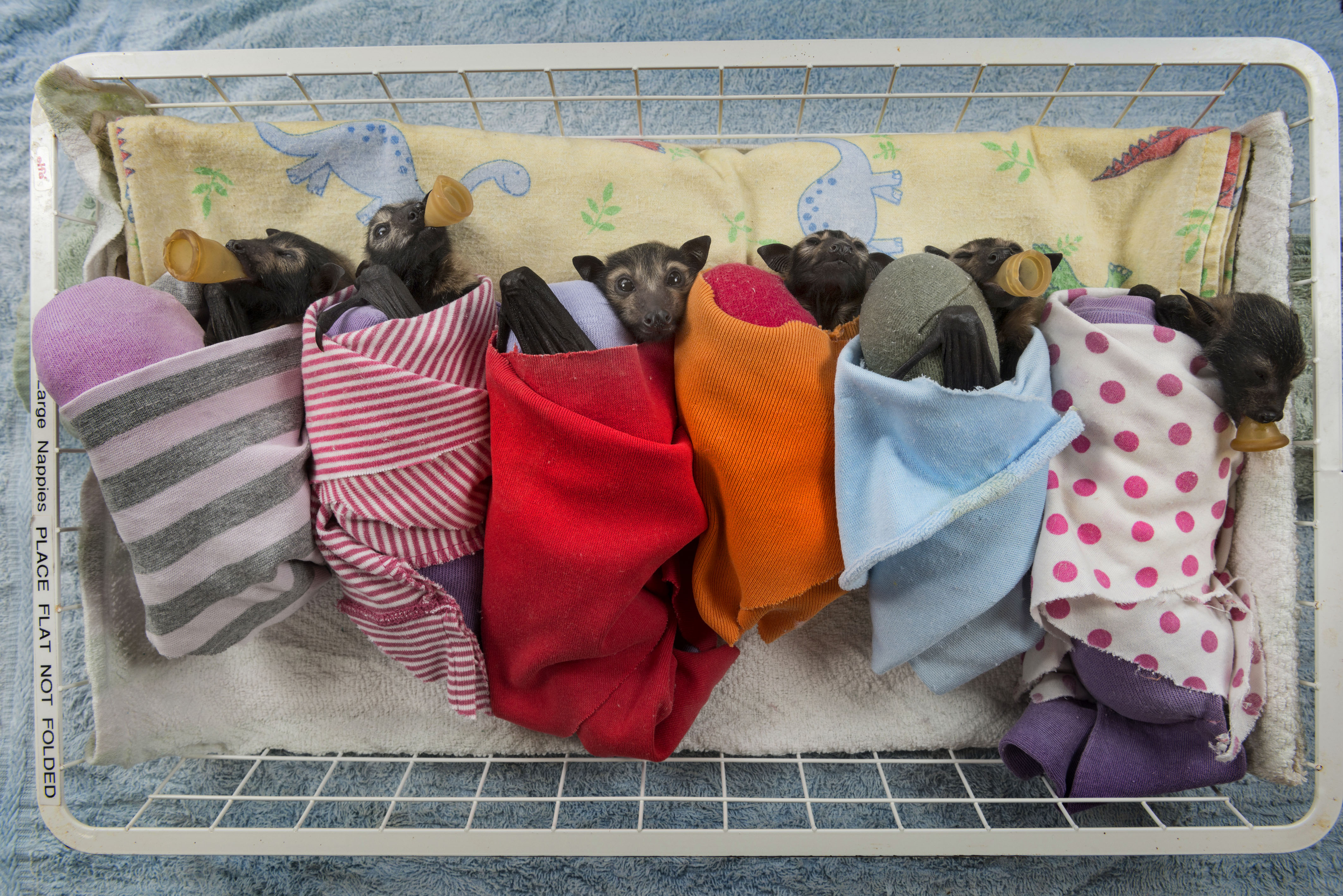 Adorable Pictures Of Abandoned Bats Wrapped In Blankets
