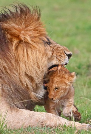 In a show of affection, the lion grabs his cub by the scruff of the neck