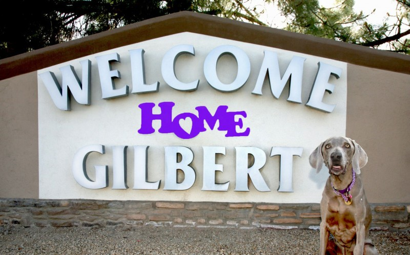 Tickled Pink Weimaraner Rescue centre raised £4,300 to pay for Gilberts life-saving surgery