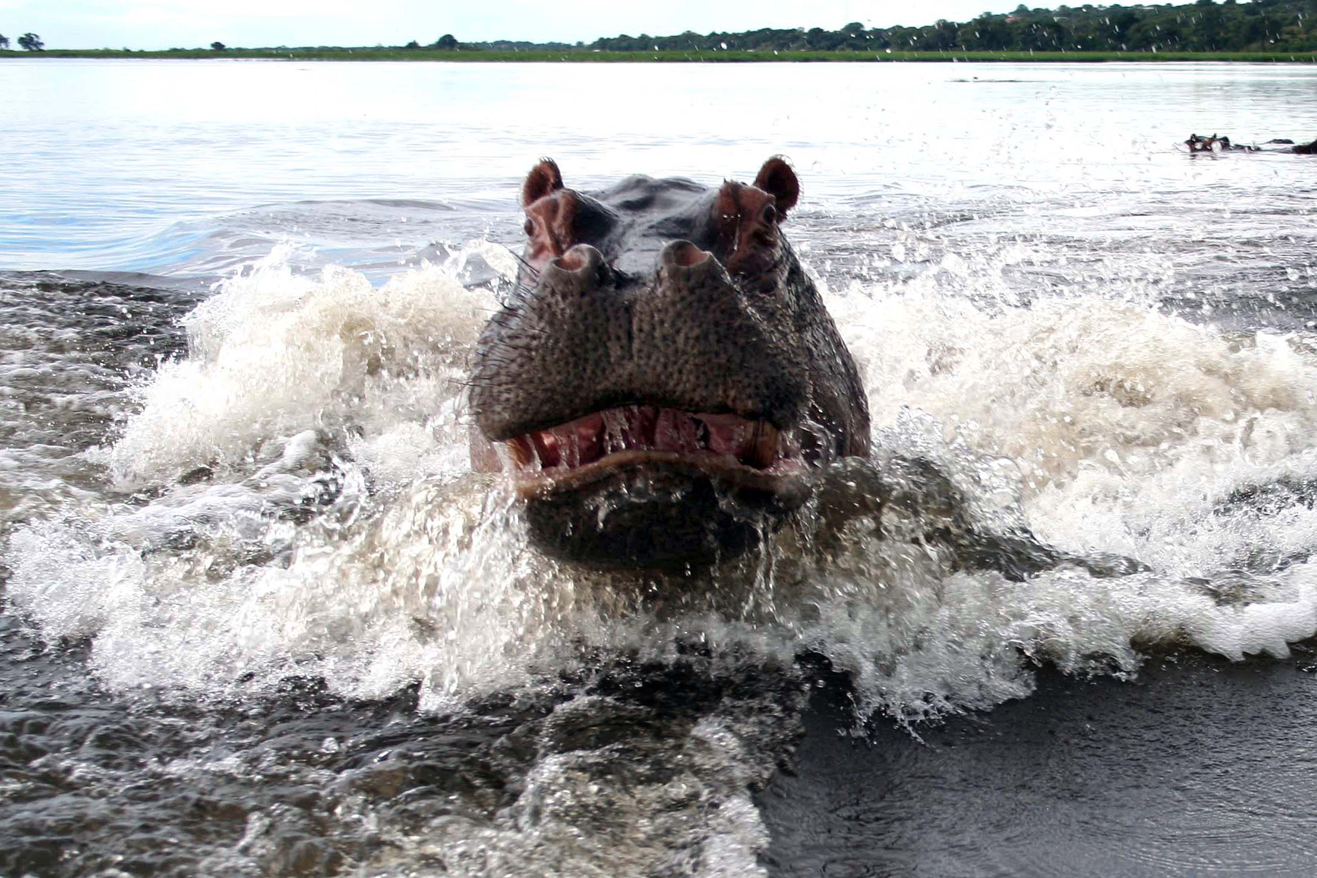 Terrified Couple Capture Photograph Of Angry Hippo After It - Photographer captures angry lion before attack