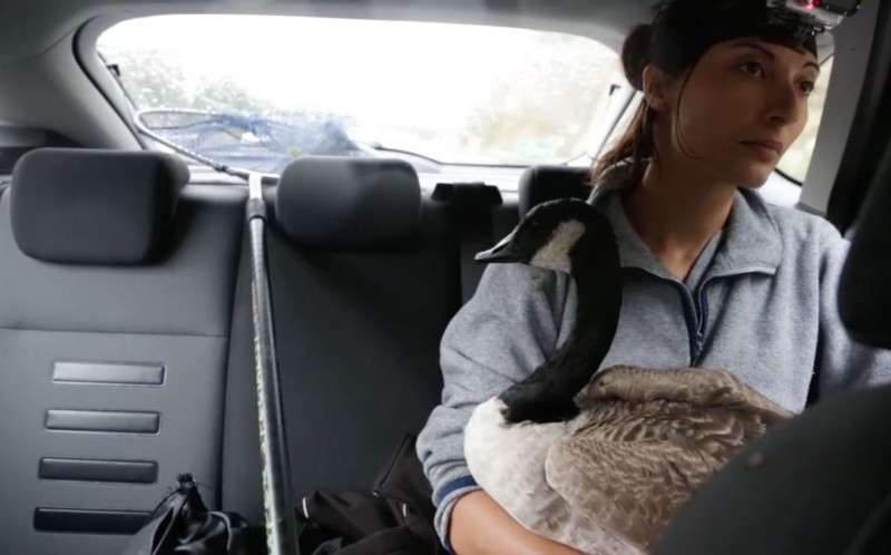 The busy road near London had to be closed while  the goose was rescued